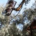 Hutchinson canopy-sharing harvester in olive orchard: rake in tree canopy