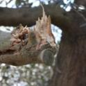 Hutchinson canopy-sharing harvester in olive orchard: observed damage after harvest