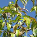 Severely nitrogen deficient peach tree