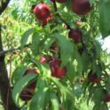 Nitrogen deficient nectarine tree