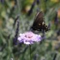 butterfly on scabiosa flower