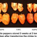 Chilling injury-Habanero
