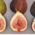 Brown Turkey Fig Maturity