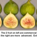 Sierra Fig Maturity