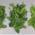 Temperature Effect on Arugula