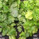 Temperature Effect on Cilantro