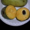 Pawpaw genotype (Zimmerman)