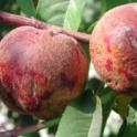 Nectarine fruit cracking caused by P deficiency
