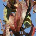 Senescing leaves on P deficient nectarine trees
