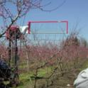 Operating a Darwin String Thinner over the top of peach trees