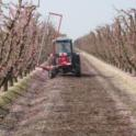 Uniformly trained peach trees ideally suited for mechanical flower thinning