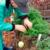 Master Gardener Picking Carrots from Strawbale Planting