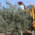 Ag-Right over-the-row harvester in olive orchard: Approach to tree