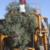 Ag-Right over-the-row harvester in olive orchard: Harvest process