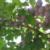 Ripe 'Improved French' dried plum (Prunus domestica)