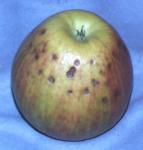Apple, Honeycrisp Bitterpit