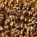 Honeybees on Comb