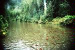 Kokanee spawning in the Meadow Creek Spawning Channel, Kootenay Lake, BC, Canada, Date: circa 1994