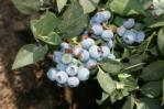 Blueberry plant 3