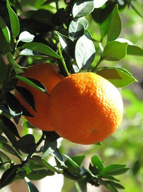 citrus-aurantium-myrtifolia-290