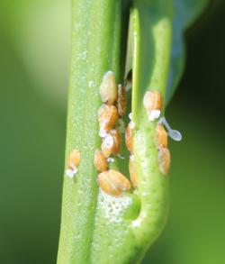 Nymph stage of psyllids with waxy tubules