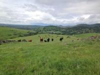 Cattle_Range
