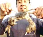 Chinese mitten crab 150