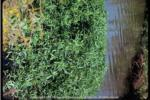 Alligator weed 150