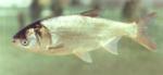 silver carp 150
