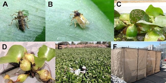 Water hyacinth planthopper