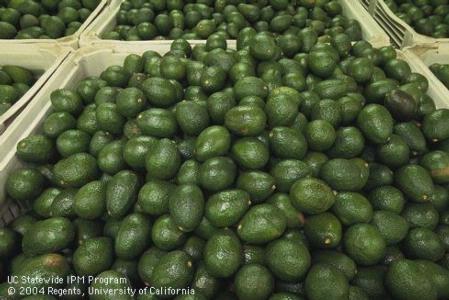 avocado trend picture