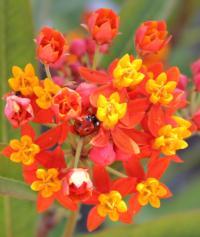 ladybug on Asclepias curassavica milkweed