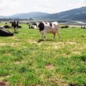 Tomales Bay cows