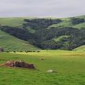 hills & cows
