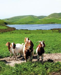 Rossitti Goats