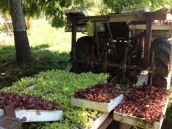Gospel Flat lettuce transplanter