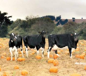 Cows in pumpkin patch