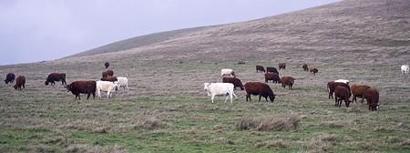 Marketing_cows