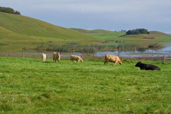 ES_cows