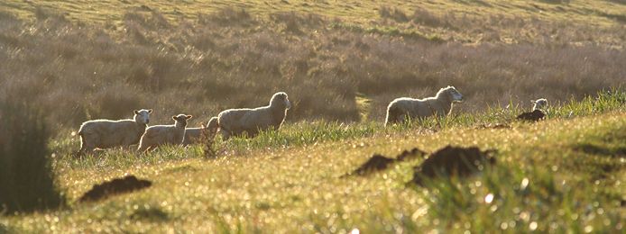 Sustainable Livestock_sheep