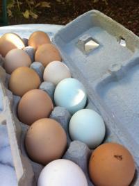 MSF Eggs