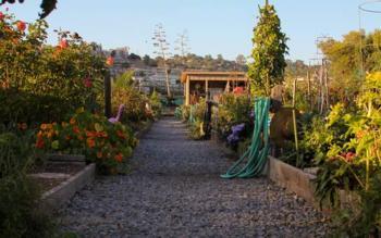 Larkspur comm garden