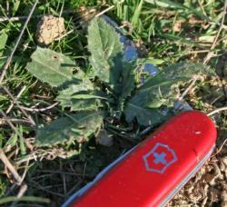 Carthamus lanatus rosette_cropped