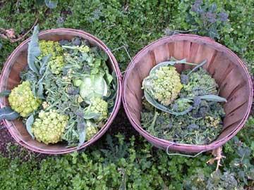 Winter broccoli