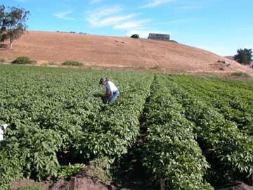 Potato Farming in Tomales