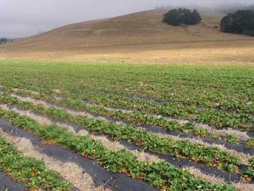 Sartori's Strawberry Field