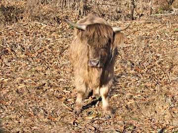 Scottish Highland Calf from Clark Summit Farm