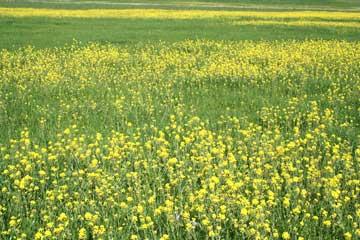 Spring Mustard in Tomales