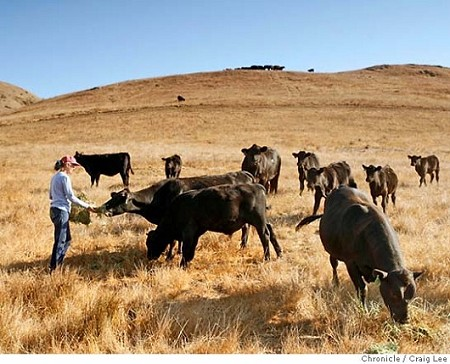 Chileno Valley Ranch - Sally Gale feeding steers