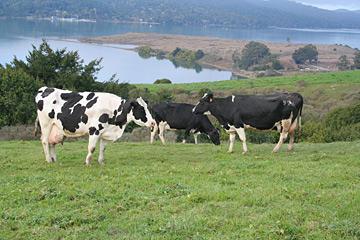 Bay cows